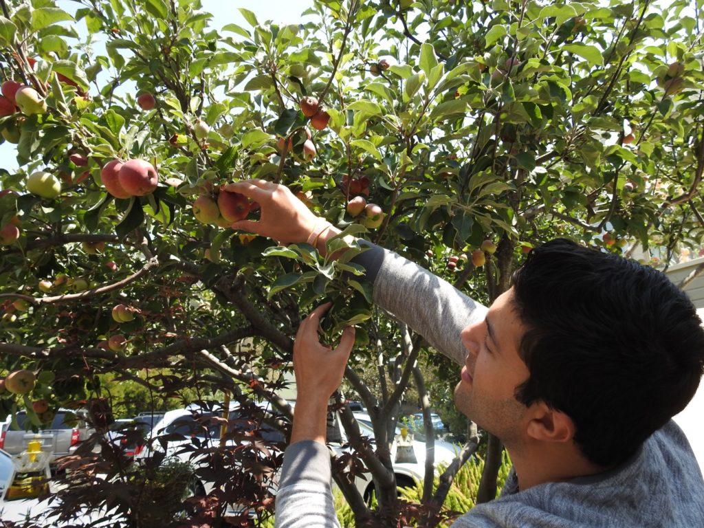 apples at apple farm inn