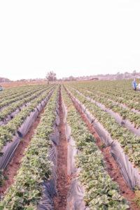 Carlsbad strawberry company strawberry fields and strawberry picking