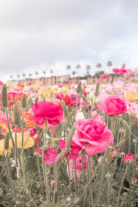 Carlsbad Flower Fields, things to do in the spring in Carlsbad