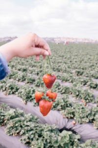 Strawberry picking in Carlsbad, fun spring things to do in Carlsbad
