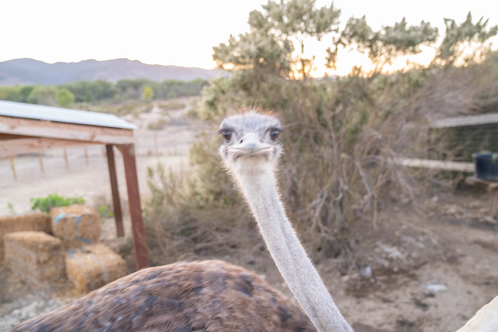 Ostrich Land things to do in Buellton California